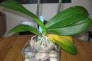 Lower Phalaenopsis Leaf Yellowing