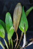Black Rot on Cattleya