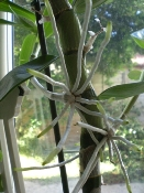 Strange Growth on Dendrobium