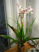 Anthracnose on Oncidium