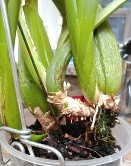 Resituate Oncidium so Roots Grow Into Mix