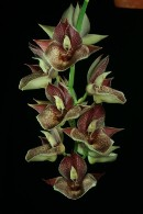 Catasetum Orchidglade