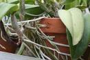 Healthy Roots on Orchids Grown in Pot