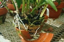 Healthy Roots Inside Orchid Pot
